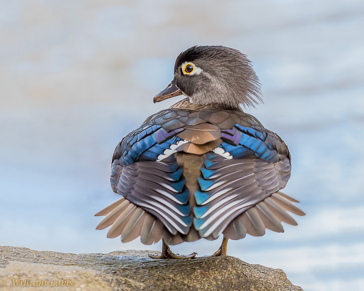 """Wood Duck"" by William Labbe'"